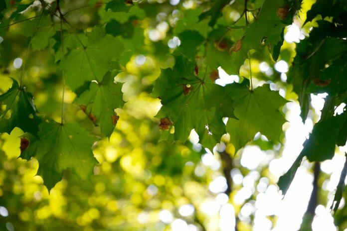 Billede fra Oslo i Norge af grønne ahornblade. Foto af Meri Sorgaard på Unsplash.