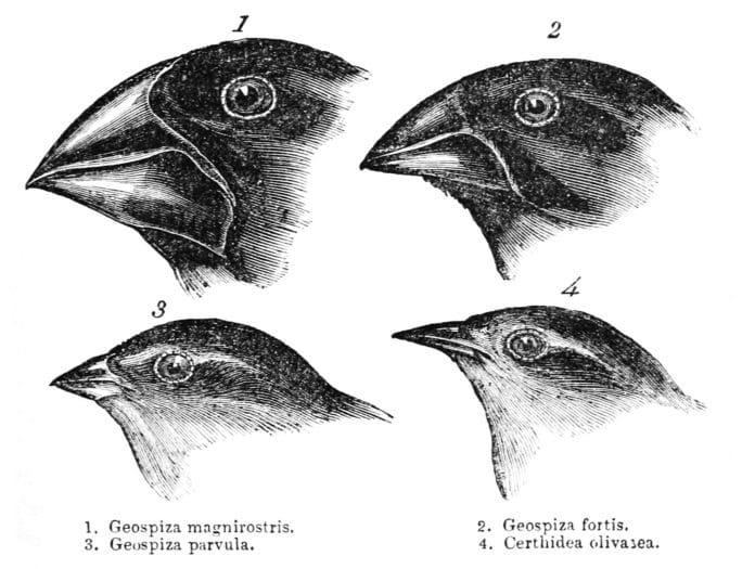 Darwin's finches or Galapagos finches. Darwin, 1845. Journal of researches into the natural history and geology of the countries visited during the voyage of H.M.S. Beagle round the world, under the Command of Capt. Fitz Roy, R.N. 2d edition. Date: before 1882. From